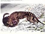 Rare thylacine stock