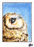 130613-14 ACEO little owl