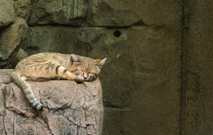 Sand dune cat sleeping... by Gib-Pinups-And-Toons