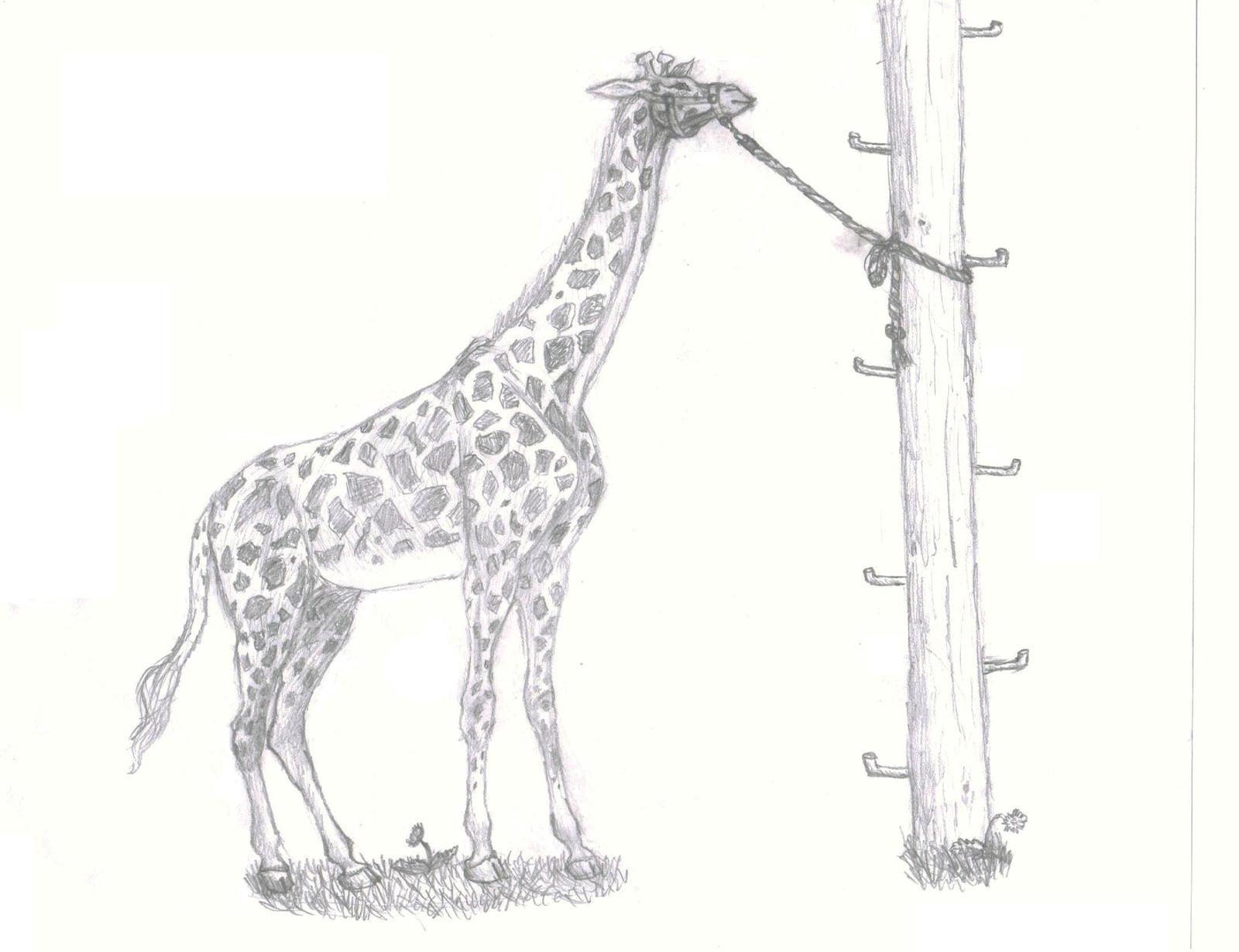 Giraffe Tied to Telephone Pole