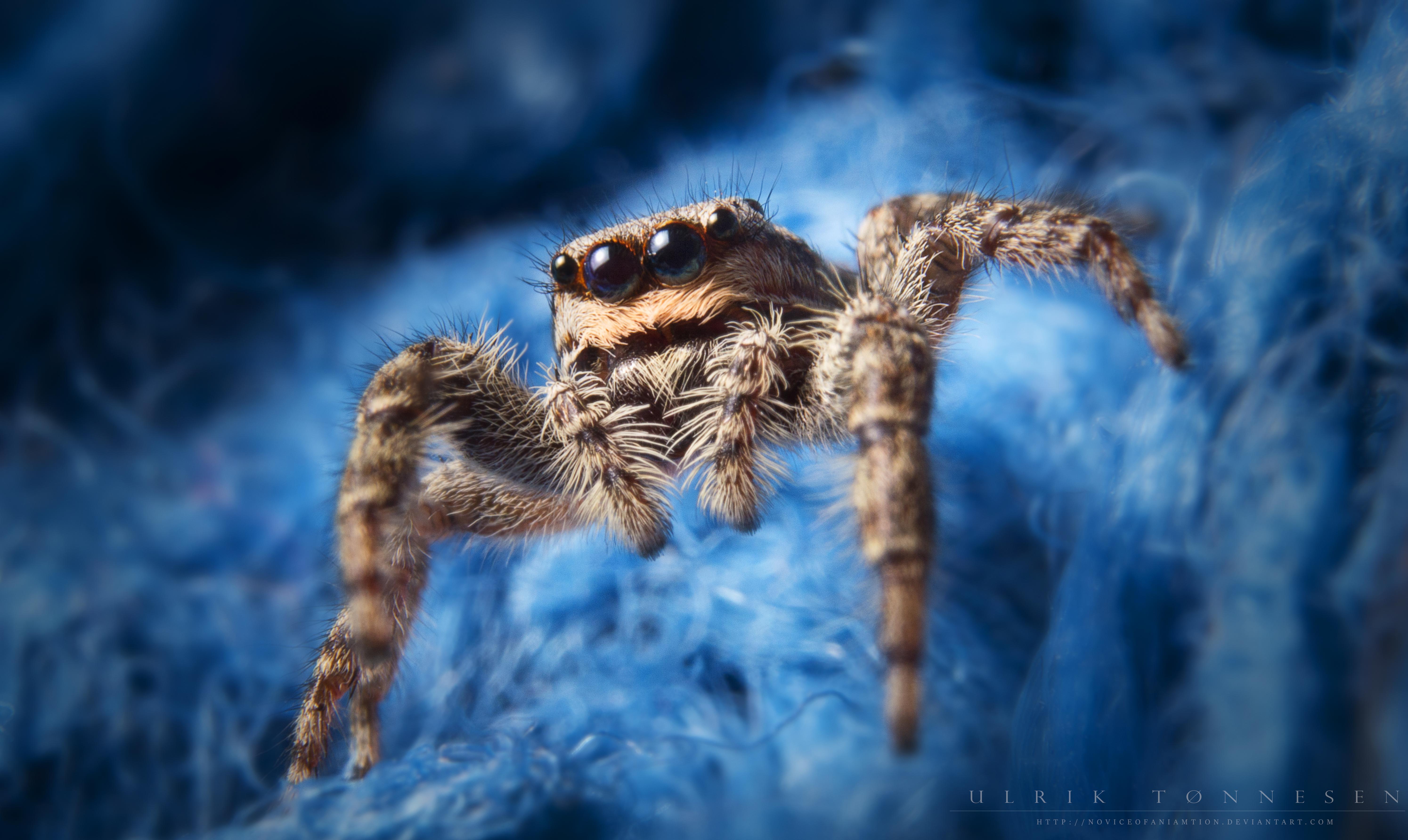 Jumping Spider by NoviceOfAnimation