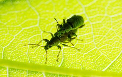 Phyllobius maculicornis by NoviceOfAnimation