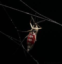 Mosquito by NoviceOfAnimation