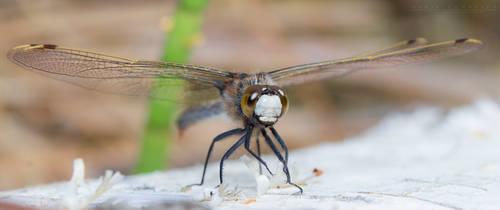 Dragonfly by NoviceOfAnimation