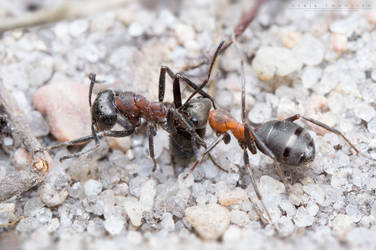 Forest ants