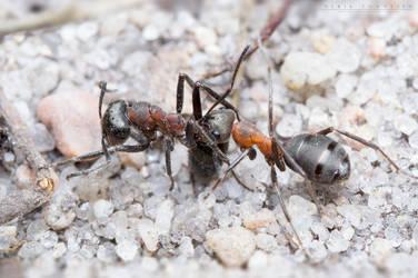 Forest ants by NoviceOfAnimation