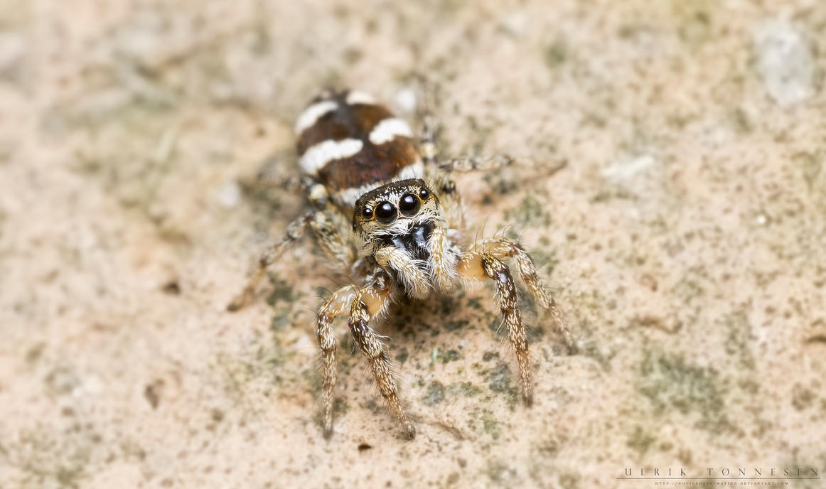 Zebra Jumping Spider by NoviceOfAnimation
