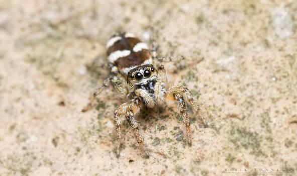 Zebra Jumping Spider