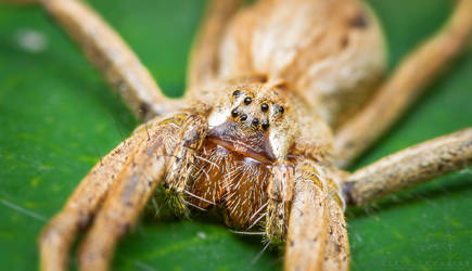 Nursery Web Spider by NoviceOfAnimation