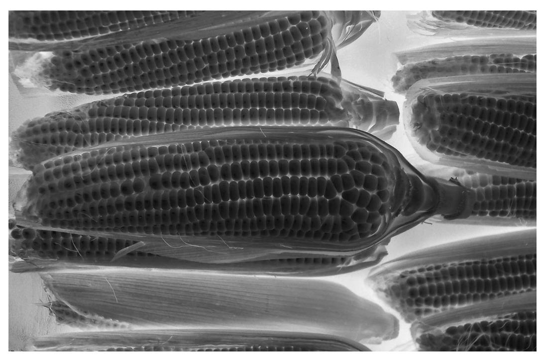 Xray of a CorN by Gismonda999
