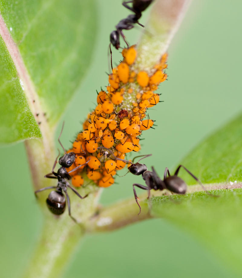 dairy ants and aphids symbiotic relationship