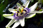 passion flower droplets2