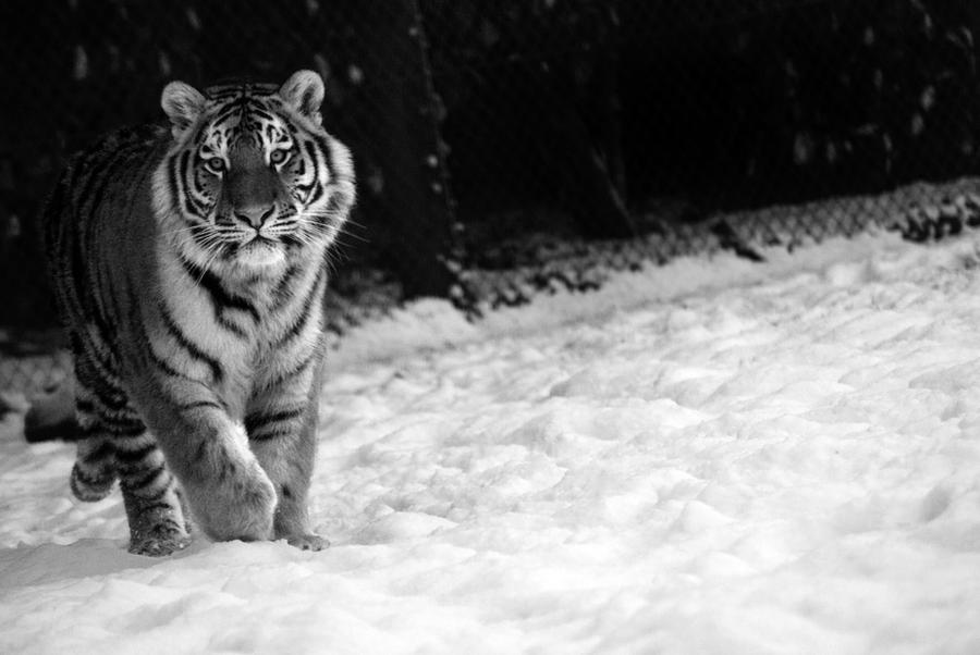 tiger in the snow 3 by mia95