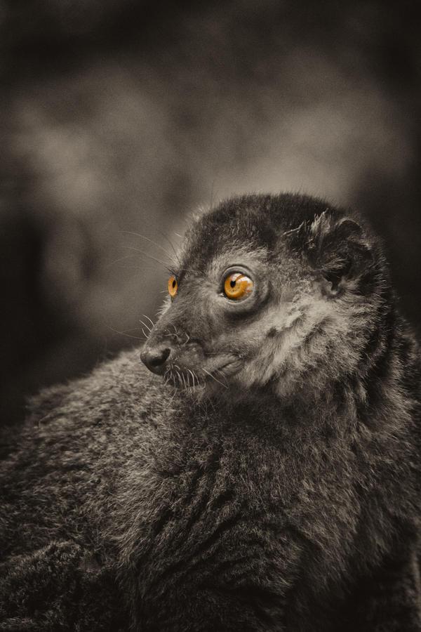 Collared Lemur by heatherae