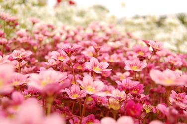 flowers by rashell-stocks