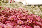 flowers II by rashell-stocks