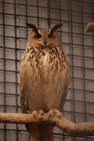 owl by rashell-stocks