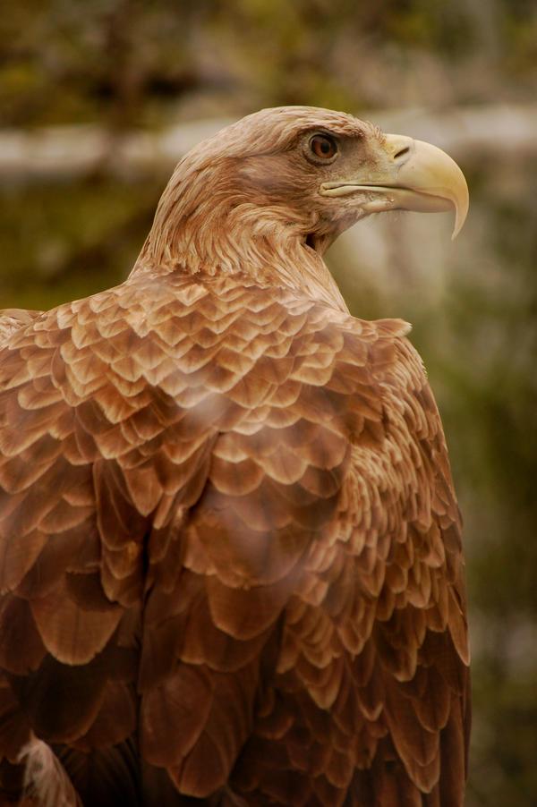 eagle by rashell-stocks