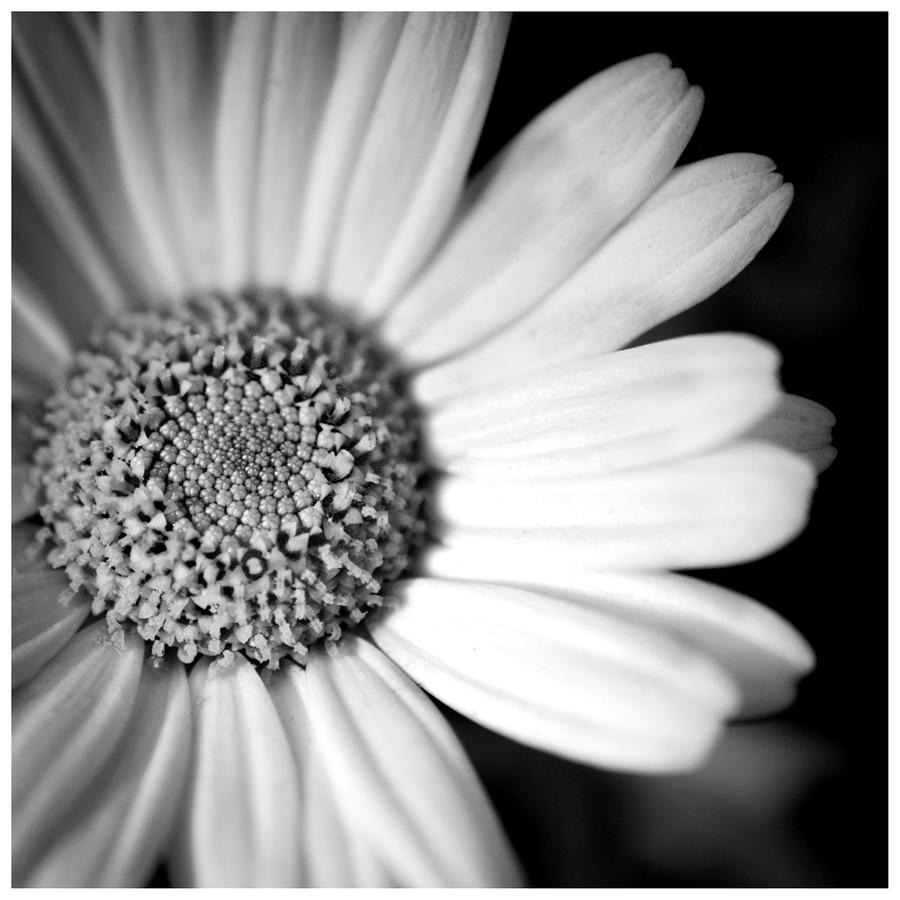Daisy.... by Malcolm21