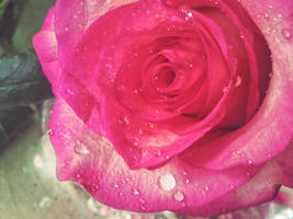 Rose172 by alealara