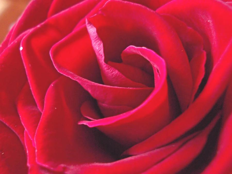 Rose176 by alealara