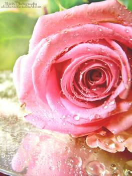 Rose327