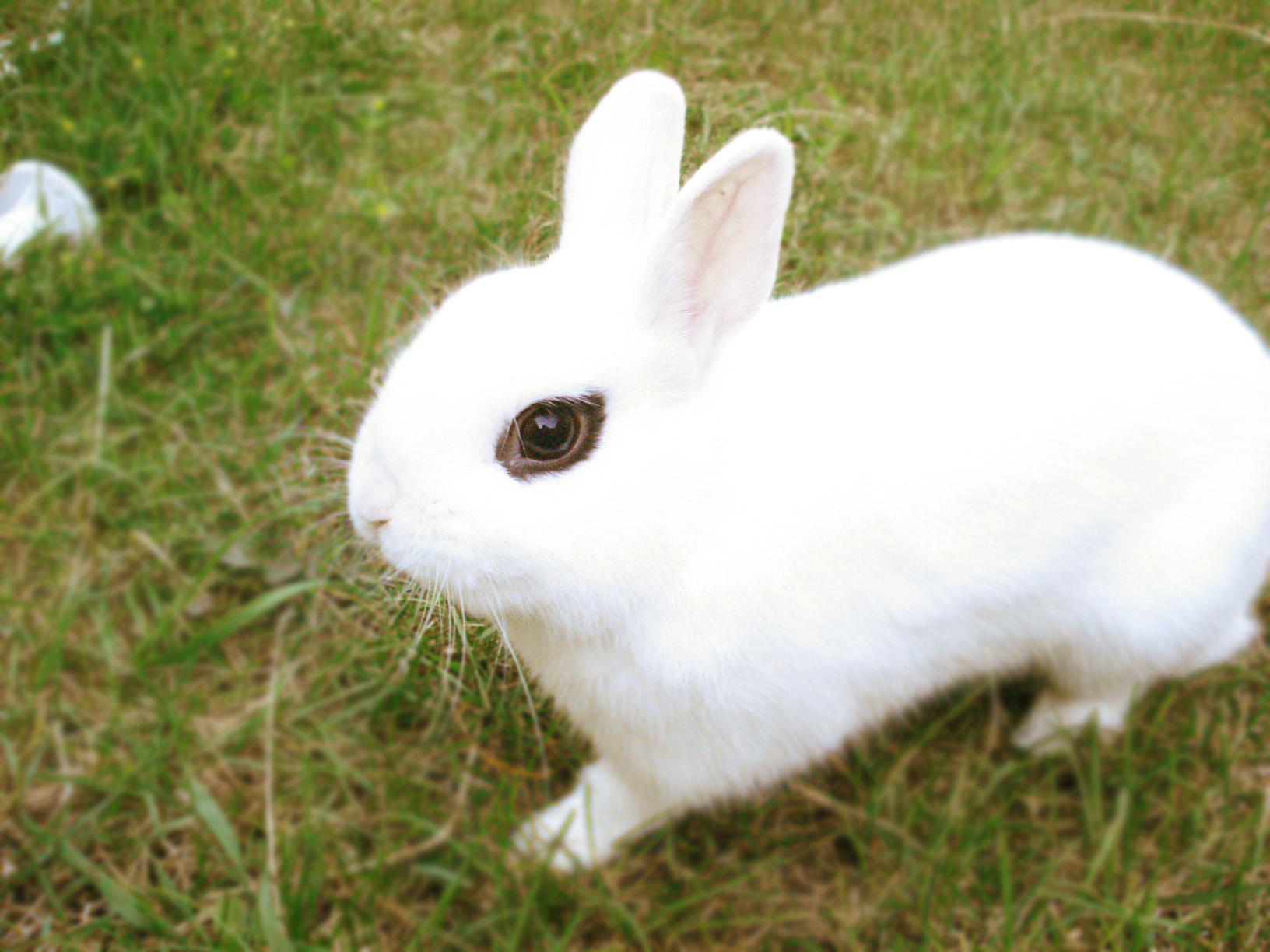 hotot bunnies on pinterest rabbit bunnies and dwarf bunnies