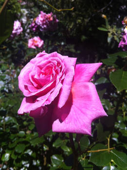 Photography. Pink rose