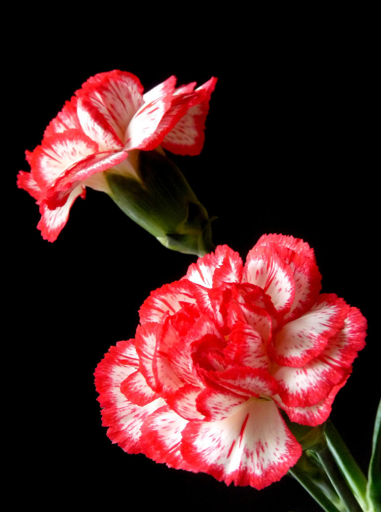 carnations by Alouette-Photos