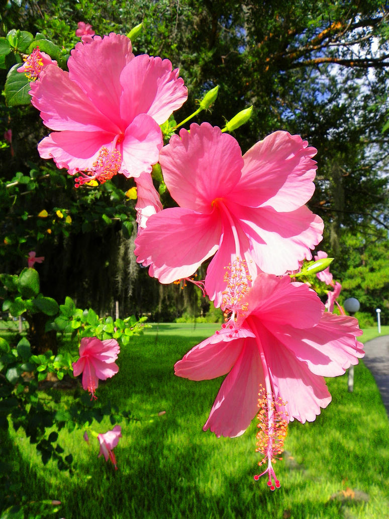 Big Pink Triple Hibiscus | Hibiscus flowers, Hibiscus tree ... |Triple Hibiscus