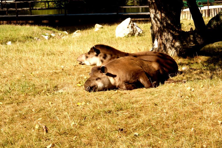http://fc03.deviantart.net/fs51/i/2009/276/d/c/tapir_anta_by_frikt.jpg