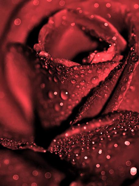 هل زرت يوما مدينه قلبكــــ red_rose_by_CrisisCo