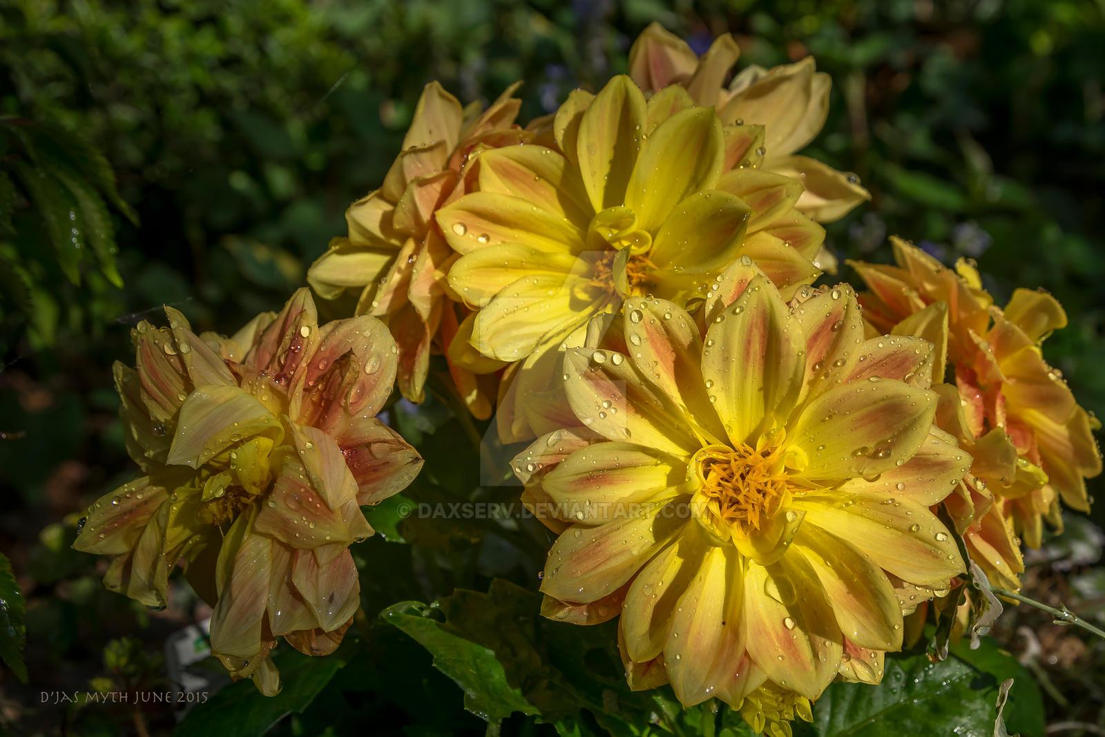 patio dahlia flower of my english garden by daxserv on