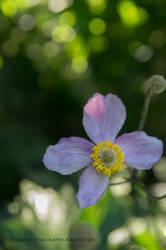 Japanese anemone and the sunbeam