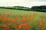 poppy field stock