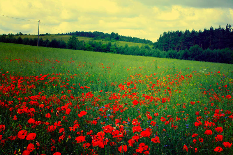 poppy field II stock