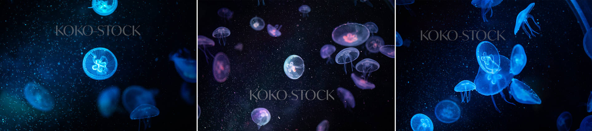 Jellyfish stock hd premium
