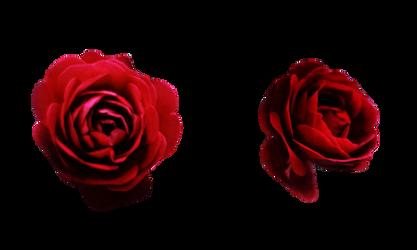 roses by CeriseIII