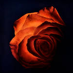 Glowing Rose (working title)