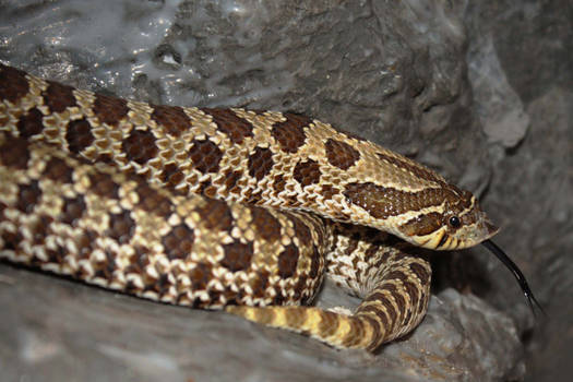 Donna Noble the hognose snake