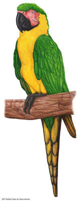 Dominican Macaw