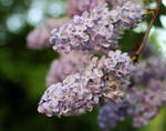 lilac by ugnip