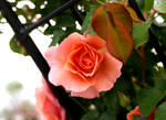 is a rose by ugnip