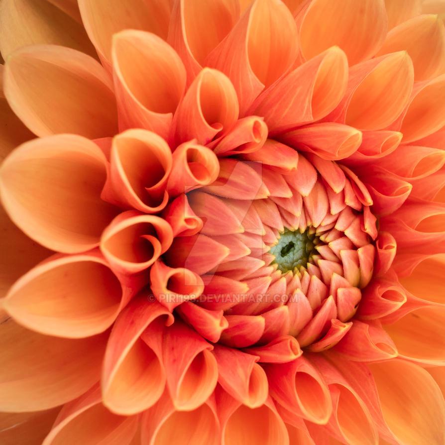 Orange Dahlia by piri198