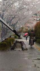 rain, umbrella, bicycles and sakura by amie689