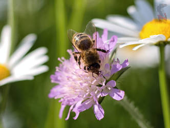 Another bee by Nethradorus