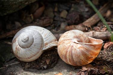 Two shells by Nethradorus