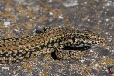 A closeup of a lizard by Nethradorus
