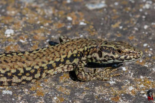 A closeup of a lizard