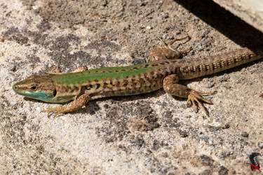Blue spotted lizard by Nethradorus
